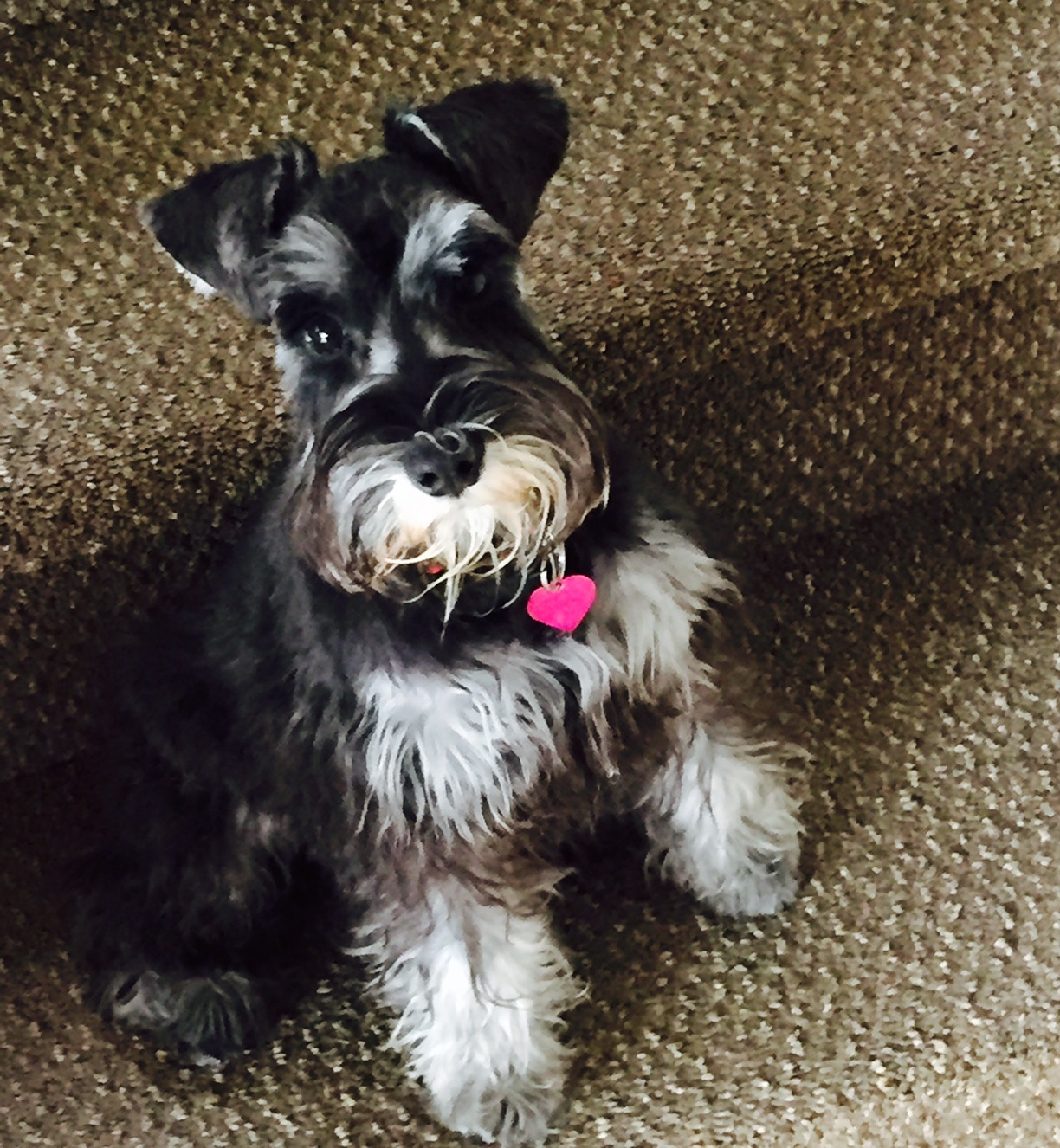 heavenly miniature schnauzer past puppies